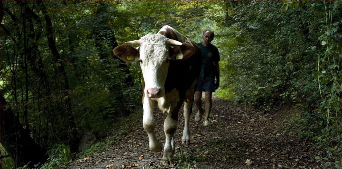 Krava_2